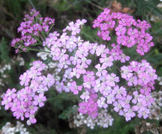Yarrow-cultivar